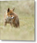 Red Fox Cub Metal Print
