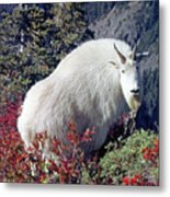 1m4900 Mountain Goat Near Mt. St. Helens Metal Print