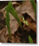 1st Lily Of Spring Metal Print
