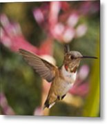 Allen's Hummingbird Metal Print by Mike Herdering