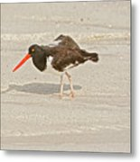 American Oystercatcher, Haematopus Palliatus,  Looking For Food  Metal Print