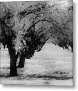 Apple Orchards In Dixon Metal Print