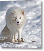 Arctic Fox... Metal Print