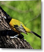 Audubon Oriole Metal Print
