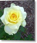 Australia - Yellow Rose Flower Metal Print