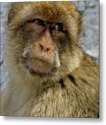 Barbary Macaque Looking Away In Annoyance Metal Print