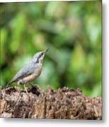 Beautiful Nuthatch Bird Sitta Sittidae On Tree Stump In Forest L Metal Print