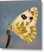 Becker's White Butterfly Metal Print
