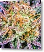 Cannabis Varieties Metal Print