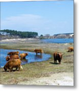 Cattle Scottish Highlanders, Zuid Kennemerland, Netherlands Metal Print