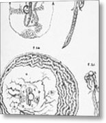 Chick Embryology, Malpighi, 1687 Metal Print
