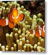 Clown Anemonefish Metal Print