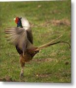 Crowing Pheasant Metal Print