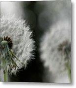 Dandelion Close-up Metal Print