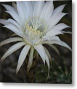 Echinopsis  Metal Print