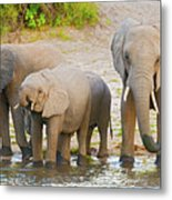 Elephants At The Bank Of Chobe River In Botswana Metal Print