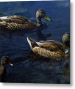 Exotic Birds Of America Ducks In A Pond Metal Print