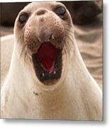 Female Northern Elephant Seal Mirounga Angustirostris Metal Print