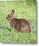 Florida Marsh Rabbit Metal Print