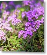 Flowering Thyme Metal Print