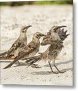 Galapagos Hood Mockingbird Metal Print