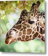 Giraffe Feeding On Green Leaves Of Lettuce Metal Print