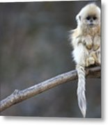 Golden Snub-nosed Monkey Rhinopithecus Metal Print