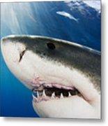 Great White Shark Metal Print