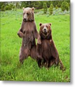 Grizzly Bear Arctos Ursus Metal Print