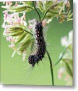 Gypsy Moth Caterpillar Metal Print