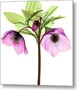 Hellebore Flowers, X-ray Metal Print