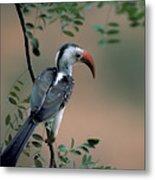 Hornbill In Kenya Metal Print