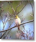 Img_0001 - American Goldfinch Metal Print