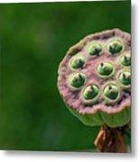 Lotus Seeds Metal Print