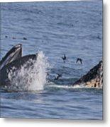 Lunge-feeding Humpback Whales Metal Print