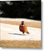 Male Ring-necked Pheasant Metal Print