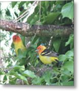 2 Male Western Tanagers Metal Print
