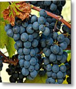Marechal Foch Grapes Metal Print