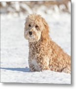 Mini Golden Doodle  Metal Print