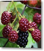 My Blackberries Metal Print