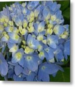 My Blue Hydrangeas Metal Print
