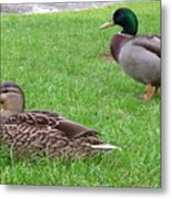 New Zealand - Pair Of Mallard Duck Metal Print