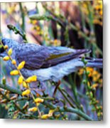 Noisy Miner In Oz Metal Print