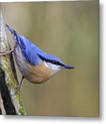 Nuthatch -- Metal Print