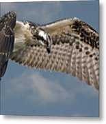 Osprey Flight Metal Print