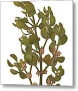 Pacific Mistletoe Metal Print