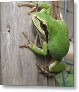 Pacific Tree Frog Metal Print