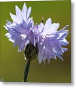Pale Blue Bachelor Button From The Double Ball Mix Metal Print