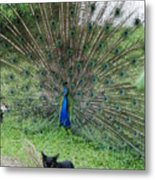 2 Peacocks And A Black Pussy Cat Metal Print