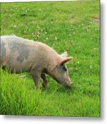 Pig In A Pasture Metal Print